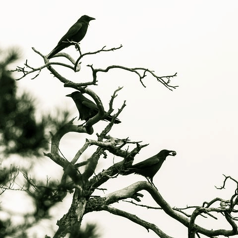 Magic of Ravens & Crows
